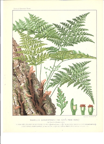 Davallia Canariensis (The Hare's Foot Fern)