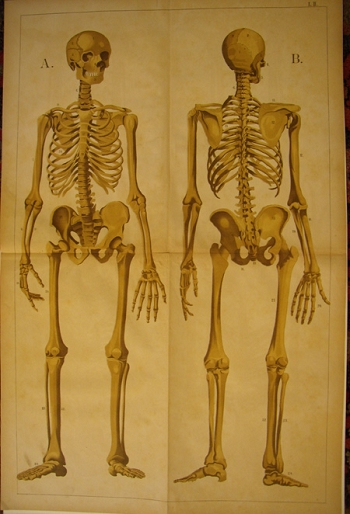 Skeleton (front and back)