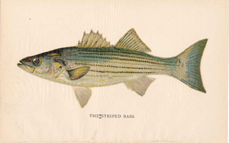 The Striped Bass