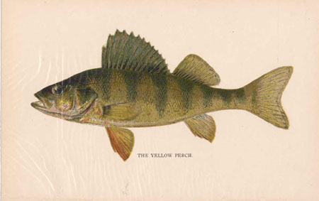 The Yellow Perch