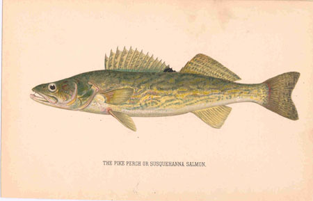 Pike Perch or Susquehanna Salmon