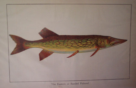 Eastern or Banded Pickerel