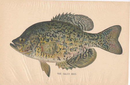 The Calico Bass